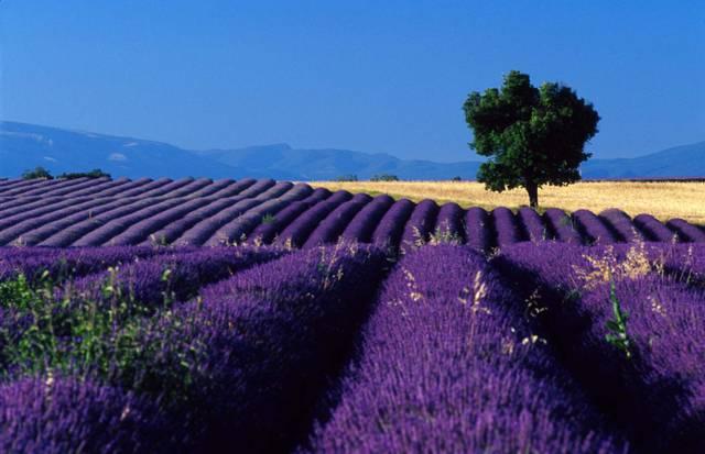 campi-di-lavanda-provenza-francia