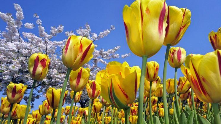 tulipani_NG3